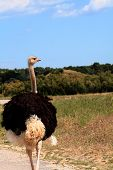 pic of ostrich plumage  - An ostrich is walking zoo vertical portrait - JPG