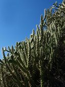 stock photo of wanton  - closeup of cactus wanton overgrov whit blooming thistles over blue sky - JPG