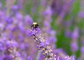 Bumble Bee Collecting Pollen From French Lavender Flowers, Facing Forwards. Bumblebees Have Round Bo poster