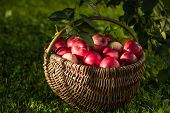 Apple Harvest. Ripe Red Apples In The Basket On The Green Grass. Apple Harvest. Ripe Red Apples Many poster