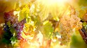 Grape - White And Red Grapes (riesling Wine Grape) On Vines, On Grapevine In Vineyard poster