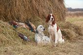 image of english setter  - Two Bird dog resting after the hunt beside a shotguns and pheasants in front of a hay horizontal - JPG