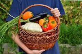 Woman Is Holding The Freshly Picked Harvest Of Vegetables In A Wicker Basket In The Garden poster