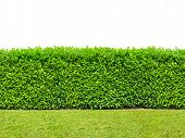 Tall  Bush Hedge With Grass Isolated On White. Seamless Endless Pattern. poster