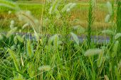 Closeup Of Fuzzy Plants In Tall Green Grass Next To Walking Path In Background. poster