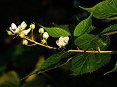 A Having In Bloom Of Blackberries In Summertime. Rubus. Golden Watch, Blooms, Beginning, Pollination poster
