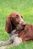 picture of foxhound  - A foxhound puppy listening  in the grass - JPG
