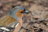 Portrait Of Male Chaffinch