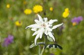 stock photo of edelweiss  - edelweiss leontopodium alpinum flower in alpine meadow - JPG