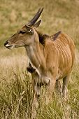 stock photo of eland  - Portait of Common Eland standing in a field - JPG