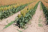 foto of sorghum  - A field of sorghum near time for harvest - JPG