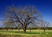 picture of pecan tree  - pecan trees in a row in central texas on a spring day - JPG