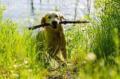 dog retriver
