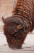 stock photo of arsenal  - Bison in snow at Rocky Mountain Arsenal - JPG