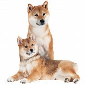 shiba inu dog with a puppy