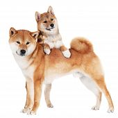 stock photo of fluffy puppy  - adorable shiba inu dog with a puppy - JPG