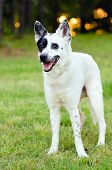 stock photo of heeler  - Portrait of blue heeler or Australian cattle dog - JPG