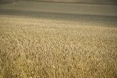 Golden Wheat Field Hertfordshire Uk poster