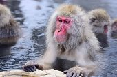 Macaques bath in hot springs in Nagano, Japan.