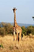 foto of kilimanjaro  - Maasai or Kilimanjaro Giraffe  grazing in the beautiful plains of the masai mara reserve in kenya africa - JPG