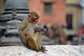 stock photo of macaque  - Macaque monkey - JPG