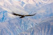 pic of andes  - Flying condor over Colca canyonPeruSouth America. This is a condor the biggest flying bird on earth