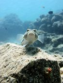picture of sun perch  - A sand perch perched on a rock - JPG