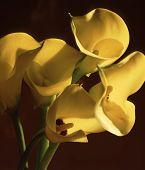 picture of flower arrangement  - Calla lilies - JPG