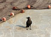 picture of caw  - Indian House Crow  - JPG