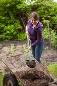 foto of wheelbarrow  - Photo of woman fertilizing garden bed with compost from wheelbarrow - JPG
