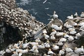 picture of gannet  - Lot - JPG