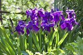 foto of purple iris  - Violet iris flowers on flowerbed in sunny day - JPG