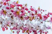 picture of cassia  - Wishing Tree Pink Showe Cassia Bakeriana Craib - JPG