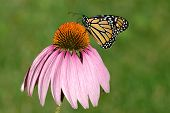 stock photo of prairie coneflower  - A monarch butterfly on a purple coneflower - JPG