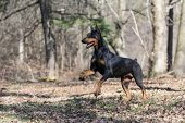image of doberman pinscher  - doberman pinscher running in the woods - JPG