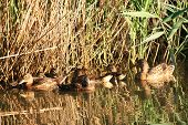 picture of bulrushes  - Wild ducks swimming in a swamp among bulrushes - JPG
