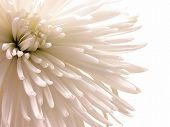 Chrysanthemum Close-up