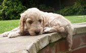 image of cockapoo  - A cockapoo puppy laying with it - JPG