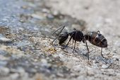 pic of formica  - macro photography of formica fusca with ground - JPG