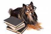 picture of sheltie  - Sheltie or Shetland Sheepdog wearing a tie and glasses laying by a pile of text books - JPG