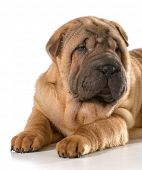 image of shar-pei puppy  - chinese shar pei puppy isolated on white background - JPG