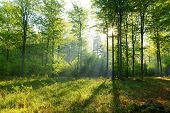 picture of incredible  - Beautiful spring morning in old beech forest - JPG