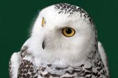 picture of snow owl  - closeup of snow owl with nature background - JPG