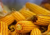 picture of corn cob close-up  - Close up of corn cobs on pile - JPG