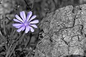 stock photo of chicory  - Closeup of a blue chicory flower and tree trunk in background - JPG
