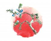 image of juniper-tree  - Branch of juniper tree and sun - JPG
