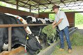 picture of animal husbandry  - Farmer feeding cows on farm with hay - JPG