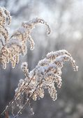 stock photo of tall grass  - Close-up view of Dry tall grass covered with snow ** Note: Soft Focus at 100%, best at smaller sizes - JPG