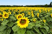 stock photo of sunflower  - Large happy sunflower and sunflower oil crop on a sunny day - JPG