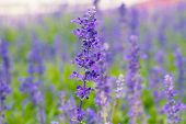 image of salvia  - Blue Salvia  - JPG
